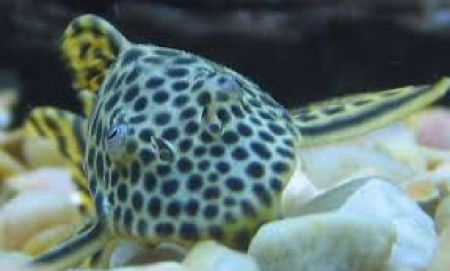 The Best Algae Eaters Pleco for Algae Control in Aquariums: Para Pleco 2