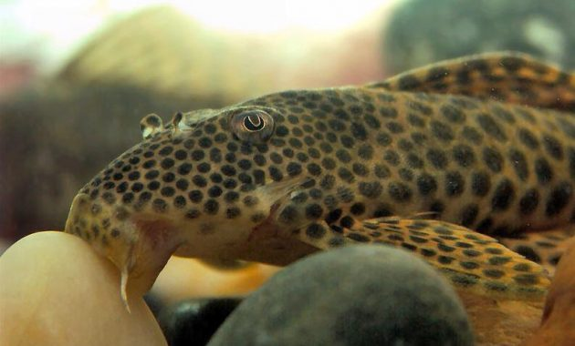 The Best Algae Eaters Pleco for Algae Control in Aquariums: Para Pleco 3