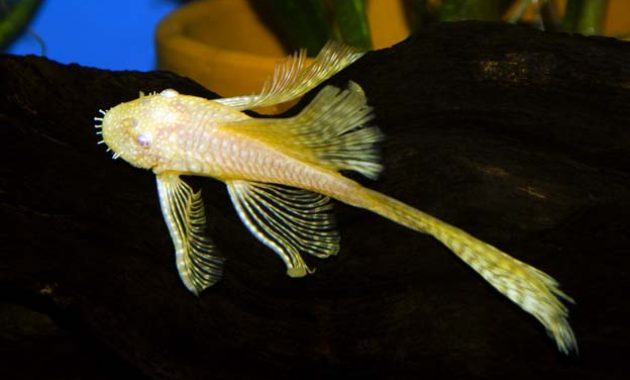 The Best Algae Eating Fish Plecostomus for Aquariums: Longfinned Bristlenose Pleco 3
