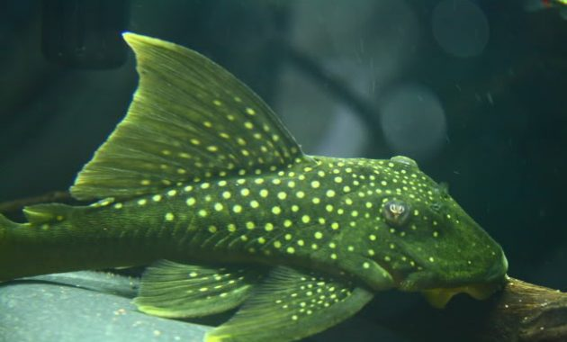 The Best Algae Eating Fish Plecostomus in Planted Tank: Green Phantom Pleco 2