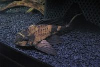 The Best Algae Eating Plecostomus for Balanced Your Aquarium: Rhino Pleco 2