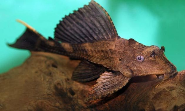 The Best Algae Eating Plecostomus for Balanced Your Aquarium: Rhino Pleco 3