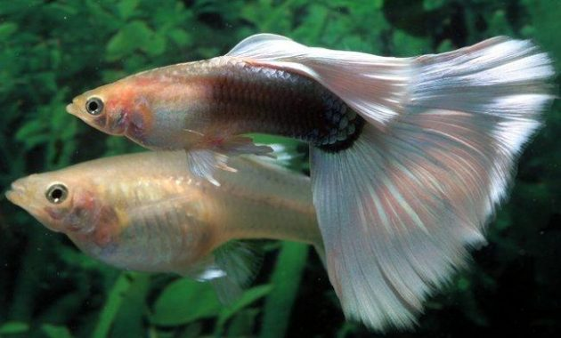 The Best Fish that Eats Algae in Fish Tank: Guppy Fish 3
