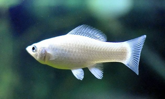 The Best Freshwater Algae Eaters for Balanced Your Aquariums: Silver Molly