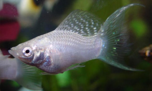 The Best Freshwater Algae Eaters for Balanced Your Aquariums: Silver Molly 3