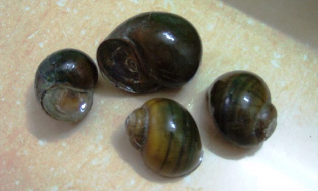 The Best Snail for Algae Control in Freshwater Aquarium: Japanese Trapdoor Snail 2