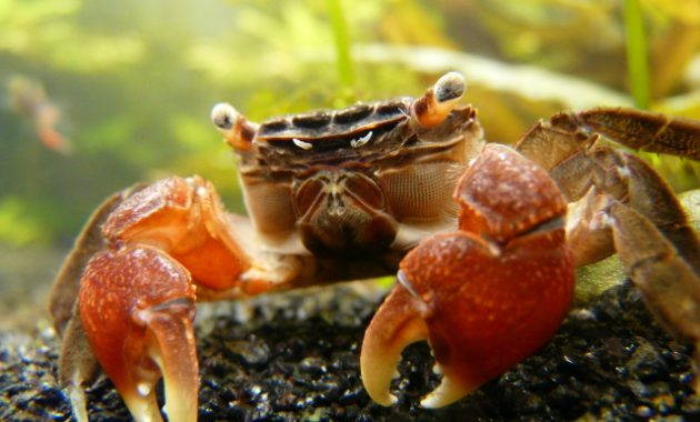 The Best Types of Algae Eaters Aquariums: Red Claw Crab 2