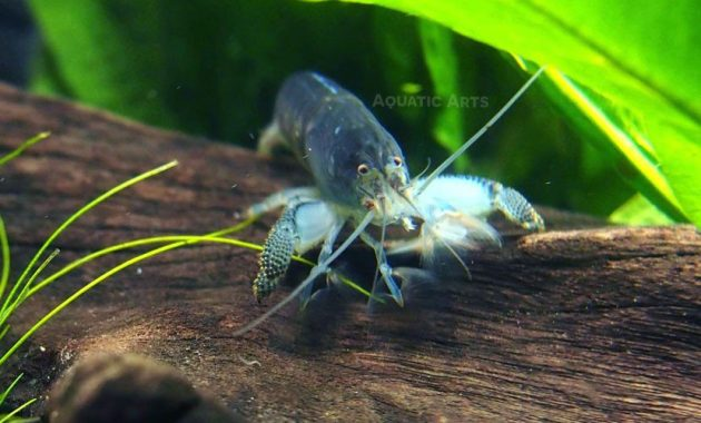The Good Algae Eating Shrimp in Freshwater Aquarium: Vampire Shrimp 2