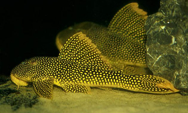 The Great Algae Eating Fish Plecostomus in Aquariums: Golden Cloud Pleco
