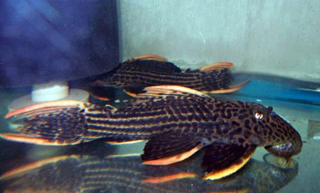 The Great Algae Eating Fish Plecostomus in Aquariums: Scarlet Pleco 3