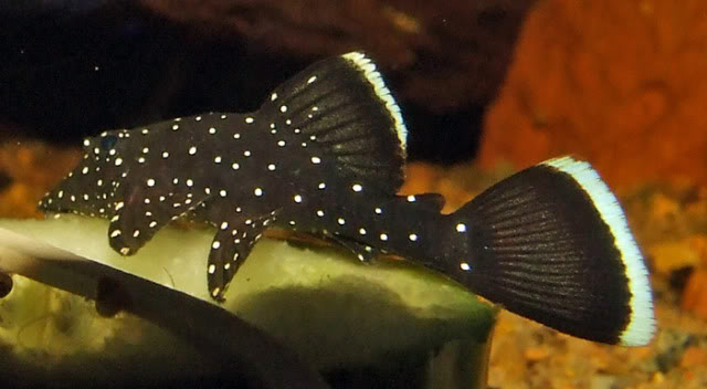 The Great Algae Eating Fish Plecostomus in Aquascape: Pappermint Plecostomus