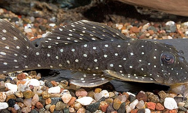 The Great Algae Eating Fish Plecostomus in Aquascape: Pappermint Plecostomus 2