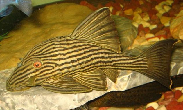 The Great Algae Eating Fish Plecostomus in Freshwater Aquariums: Gold Royal Pleco 3