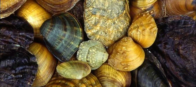 The Great Freshwater Algae Eaters For Your Fish Tank: Invasive Mussel