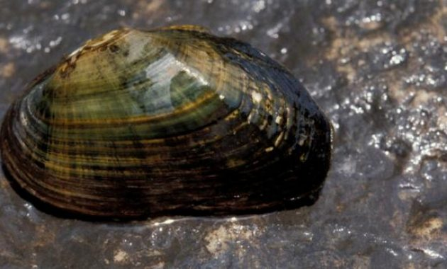 The Great Freshwater Algae Eaters For Your Fish Tank: Invasive Mussel 2