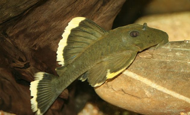 The Loyal Algae Eating Fish Plecostomus In Freshwater Aquarium: Magnum Pleco 3