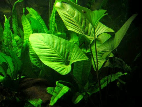 Plant for Low Tech Planted Tank Lighting ANUBIAS GRACILIS
