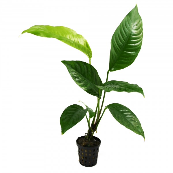 "Best Low Maintenance Fish Tank Plants ""Anubias Heterophylla"""