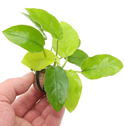 Easiest Aquarium Plants For Dummies Anubias Nana Golden