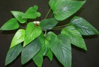 Good Background Aquarium Plants Anubias Gigantea