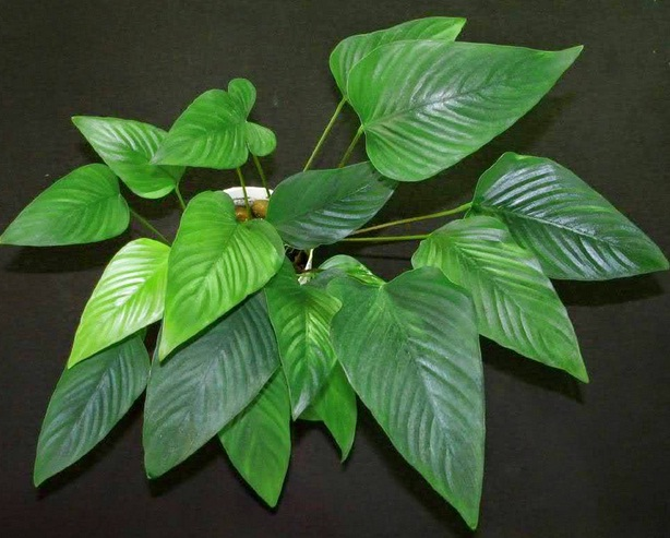 "Good Background Aquarium Plants ""Anubias Gigantea"""