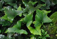 Good Plants For Fish Tanks Anubias Gracilis