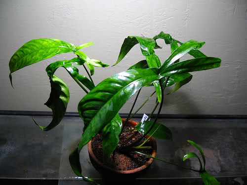 Inside Plants Low Light Anubias Pynaertii Aquascaper