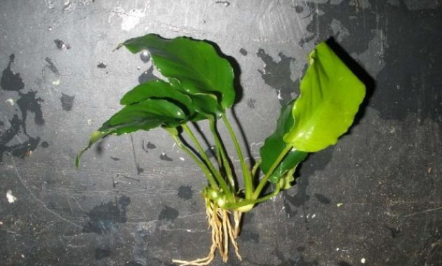 Plants In Tropical Rainforest River Anubias Barteri Var. Nana Wrinkle Leaf