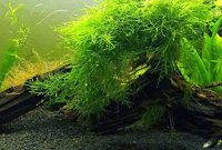 Plants That Don't Need Soil Java Moss
