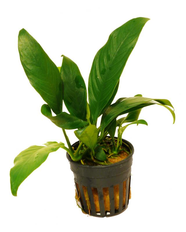 Plants That Grow in Water and Rocks Anubias Lanceolata