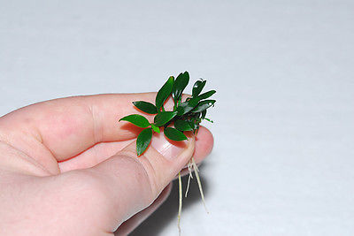 Rare and Exotic Tropical Aquarium Plants Anubias Nana Pangolino