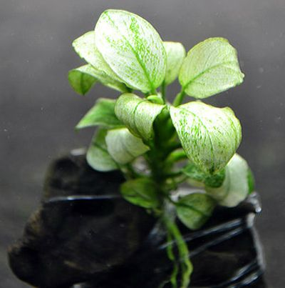Rhizome Aquarium Plants – Anubias Sp White or Marbled White Anubias – Rare And Exotic Aquatic Plants