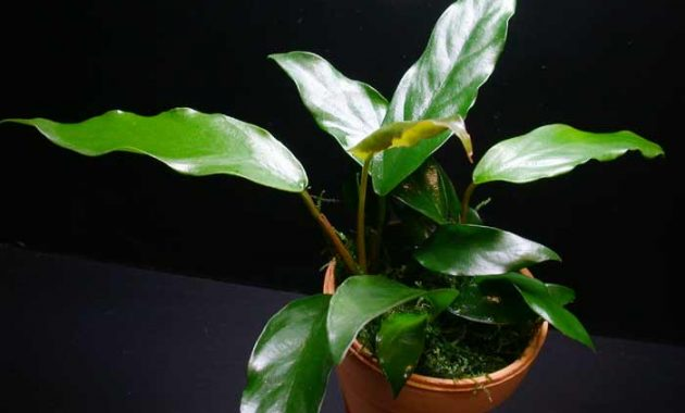 "The Best Beginner Plants For Aquarium ""Anubias Minima"""