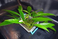 Tropical Aquarium Plants For Beginners Anubias Barteri Var. Glabra