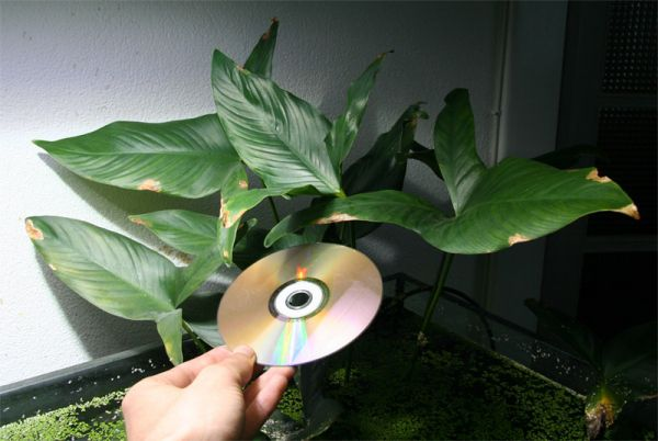 What Plants Can I Put In My Fish Tank Anubias Hastifolia