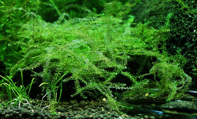 "Aquatic Plants For Aquariums Extremely Rare and Exotic ""Queen Moss or Hydropogonella Gymnostoma"""