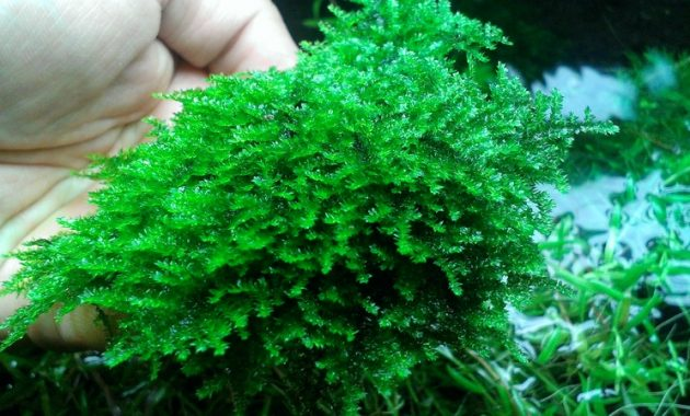 Aquatic Plants For Aquariums Extremely Rare and Exotic Queen Moss or Hydropogonella Gymnostoma
