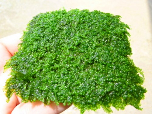 Best Foreground Aquarium Plants Heteroscyphus Zollingeri or Pearl Moss Is The Rarest Aquatic Moss Plants