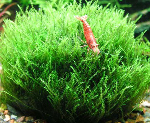 Easy Grow Aquarium Plants Moss Amblystegium Serpens or Nano Moss