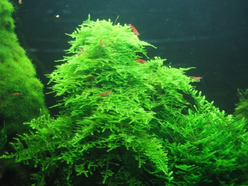 Fast Growing Aquarium Moss Plants Taxiphyllum Alternans Called Taiwan Moss