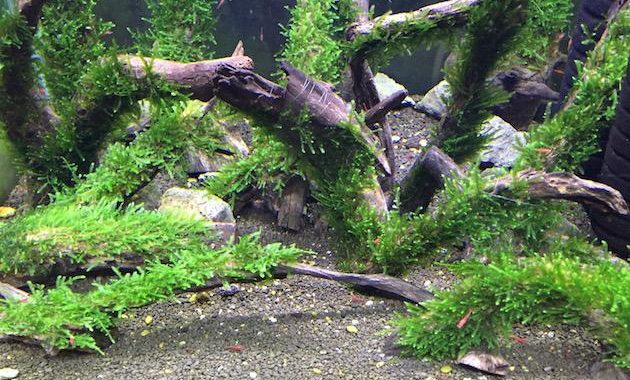 Fast Growing Freshwater Aquarium Plants Spiky Moss Or Taxiphyllum