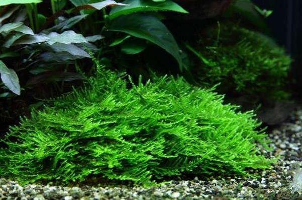 """Fast Growing Freshwater Aquarium Plants """"Spiky Moss Or Taxiphyllum sp"""""""