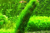 Freshwater Aquarium Plants Guide Carrying and Identification Taxiphyllum SP Or Flame Moss