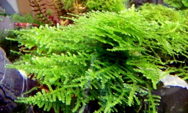 Low Maintenance Aquarium Plants Triangle Moss or Vesicularia Sp Filicinum