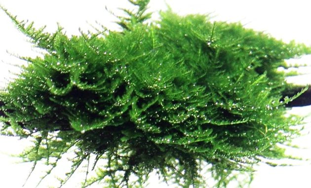 "Most Popular Aquarium Plants ""Vesicularia Montagnei or Christmas Moss (Xmas Moss)"""