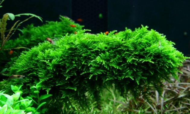 Most Popular Aquarium Plants Vesicularia Montagnei or Christmas Moss (Xmas Moss)