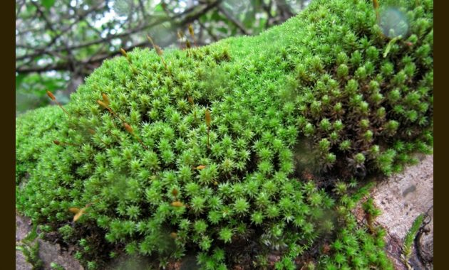 """Foreground Plants for Aquarium """"Hyophila Involuta or Star Moss or Cement Moss"""""""