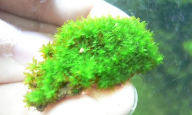 Foreground Plants for Aquarium Hyophila Involuta or Star Moss or Cement Moss