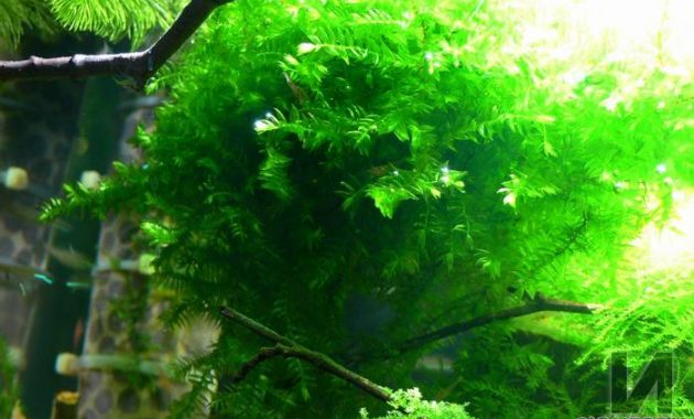Plants For 10 Gallon Aquarium Fontinalis Antipyretica Var. Gigantea or Giant Willow Moss