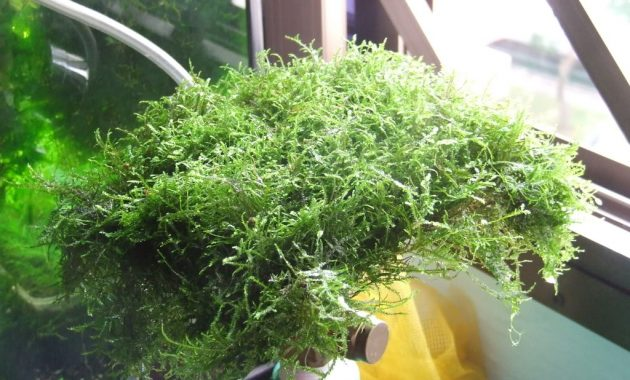Best Live Plants for Freshwater Aquarium Rare and Exotic Isopterygium Sp. or Mini Taiwan Moss
